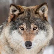 Nye ulver funnet på Østlandet
