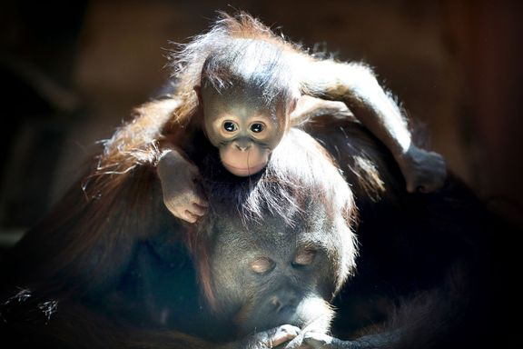 Orangutangen fikk publikum under fødselen. Se bildene av nyfødte fra hele verden i Dyreparken.