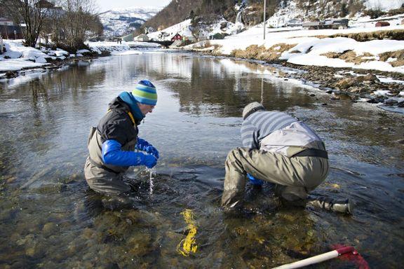 Genbank måtte kaste halve fangsten: – Vi finner tredje generasjon oppdrettsfisk i elvene