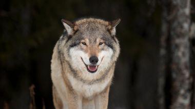 Aftenposten mener: MDG stikker hånden inn i ulvehiet