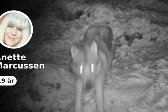 Vestlandet har startet en hensynsløs jakt på ulven Lucky. Denne må stanses.