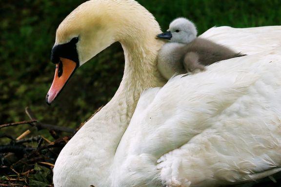 Familielykke for svanefamilien i Frognerdammen