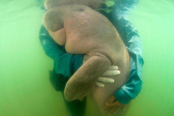 Spiste plast: Hun ble Thailands yndling, men nå er den foreldreløse sjøku-babyen død.