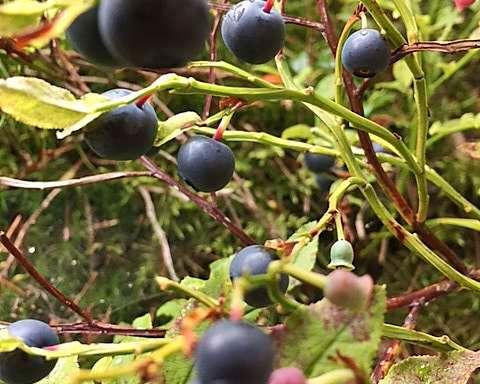 Kanonår for blåbær: - insektene har gjort jobben sin