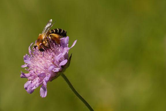 Noen legger egg i sneglehus, andre har på seg «bukse». Norges bier er vidt forskjellige.