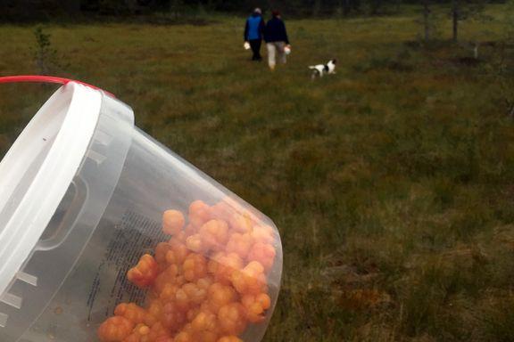 Ekspertene om årets bærsesong: – Bærene er små, men veldig gode