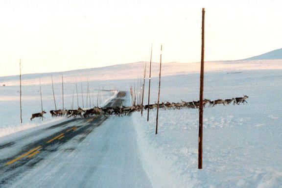 Villreinstammen i Nordfjella skal slaktes