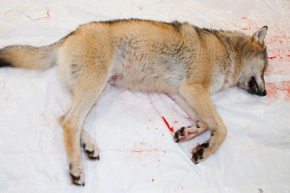 Bondelaget frykter for følgene dersom WWF vinner ulvesaken