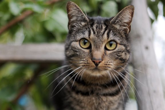 Katter dreper én million australske fugler daglig
