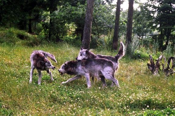 Planene klare for ulvejakt i Hedmark