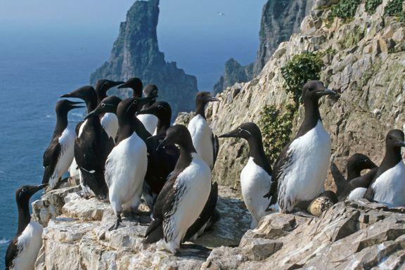 Sjøfuglenes trekkmønster i nord har vært et mysterium for forskerne. Helt til nå.