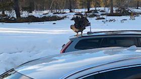 Illsint tiur i Oppdal – hytteeier måtte låse seg inne i bilen