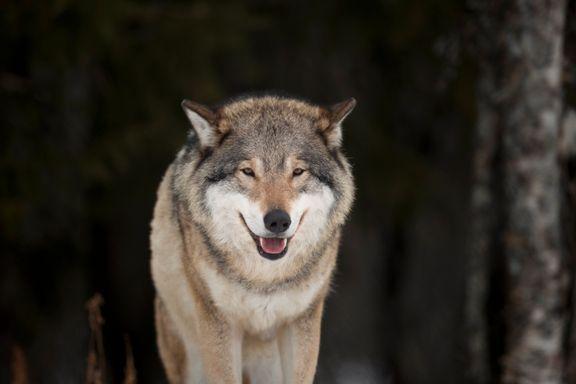 En svensk ulv står bak sauedrap