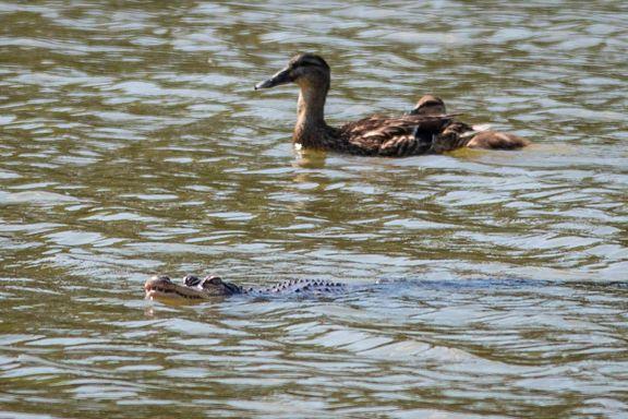Sentrumspark i Chicago stengt etter alligator-funn. Ekspert innkalt for å fange dyret.