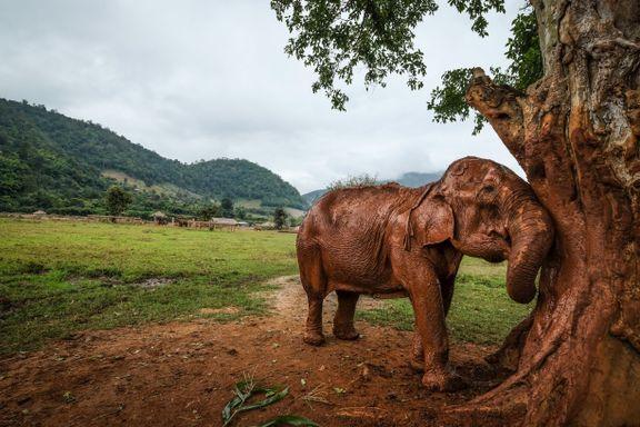 Etter 70 år som arbeider og ridedyr har elefanten Saza funnet sitt fristed