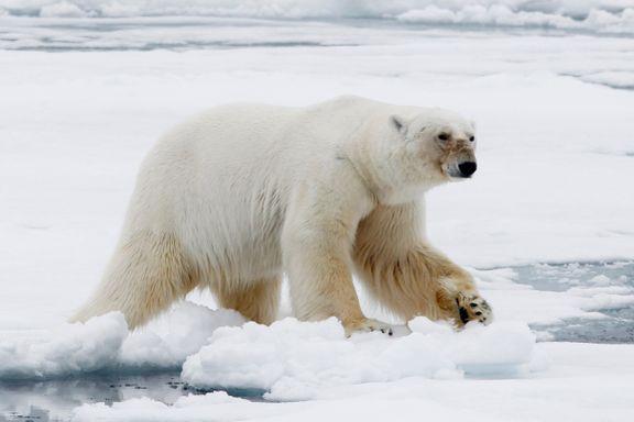 Også i Norge blir det flere isbjørner, men det er en hake ved det hele
