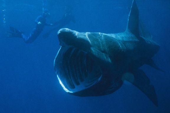 Fikk gigantisk hai i garnet
