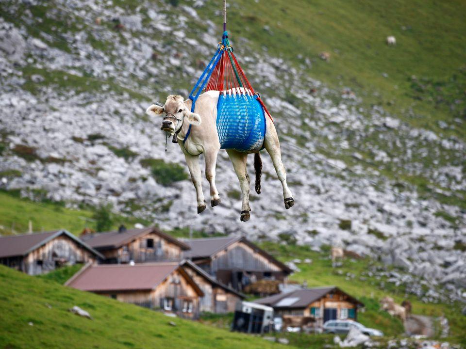 En ku med sele under magen henger flyr over noen hytter i en grønn, alpin fjellside.