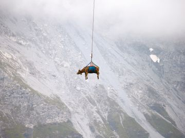 En ku med sele svever like under skydekket, i en lang vaier, med alpint landskap i bakgrunnen.