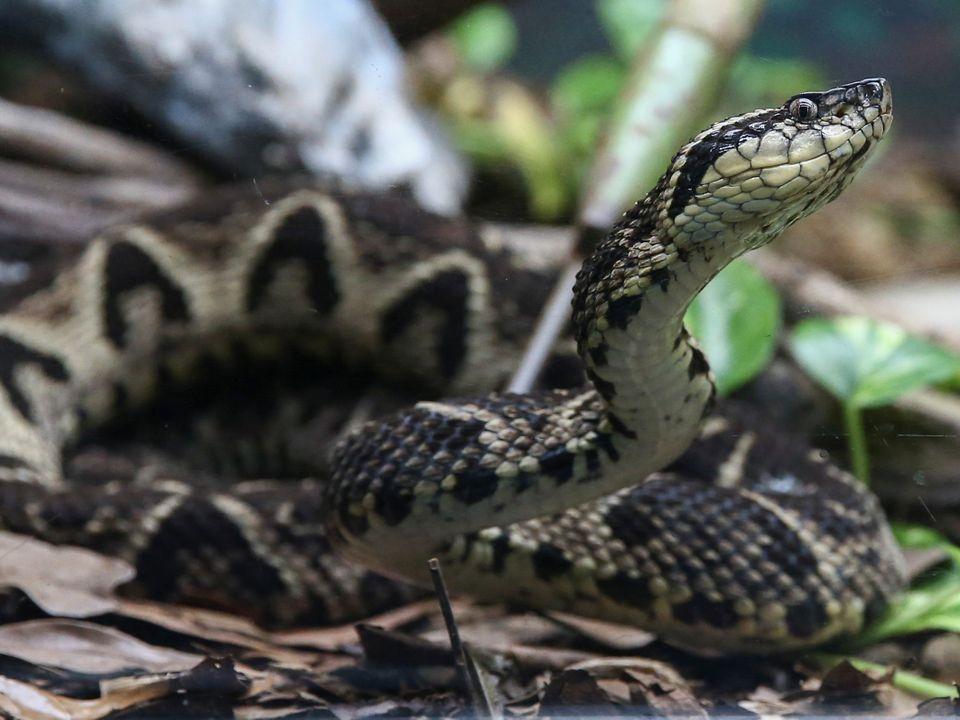 En slange med mønstret skinn hever hodet fra trestokken den ligger på.