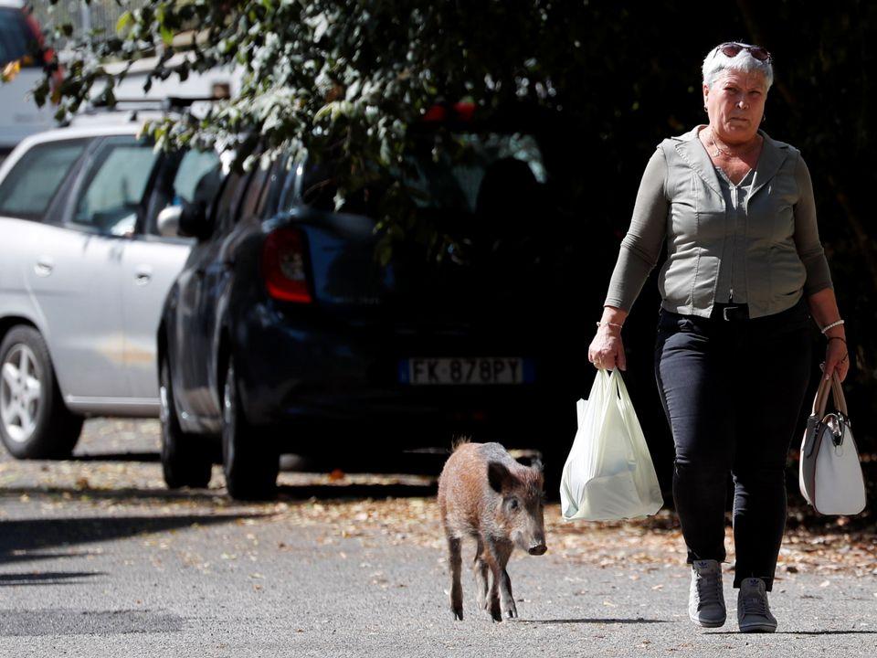 Et brunt villsvin går veldig nærme en gammel dame med et handlenett og en veske.