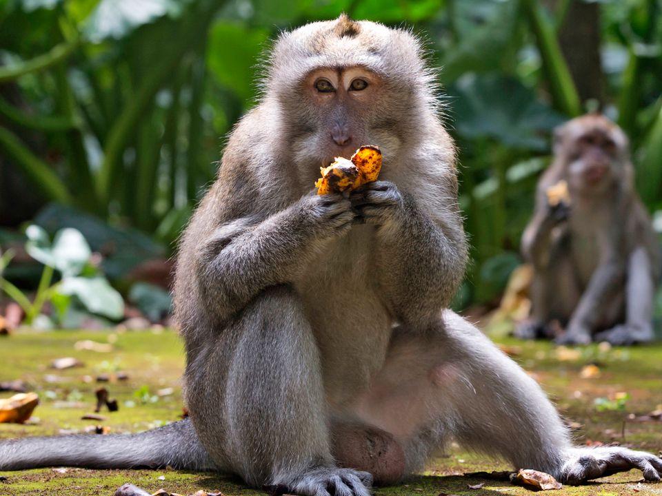 En brun ape sitter på en gressdekket bakke og spiser en oransje frukt.