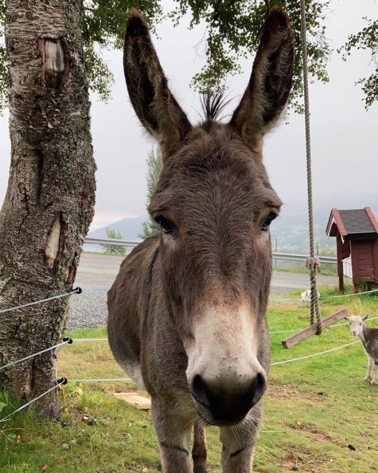Ansiktet til et brunt esel med store, lange ører som står oppover.