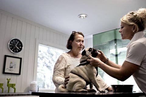 STØRRE NESEBOR: Veterinær Jannicke Jæger (til h.) sjekker at Bessies snuteparti er som det skal etter operasjonen hun gjennomgikk for to uker siden. Matmor Siri Møll (til v.) kan fortelle at energibunten hennes puster mye bedre enn før. ALLE FOTO: EIRIK BREKKE