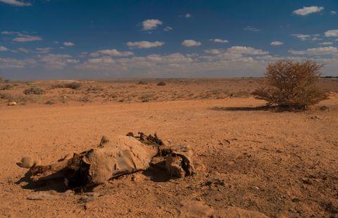DYRENE DØR: Døde dyr ligger strødd. En kamel har måttet gi tapt i ørkenen på veien til teltlandsbyen Uusgure. Uten dyrene mister nomadefolket muligheten til å flytte seg til områder som ikke er fullt så hardt rammet.