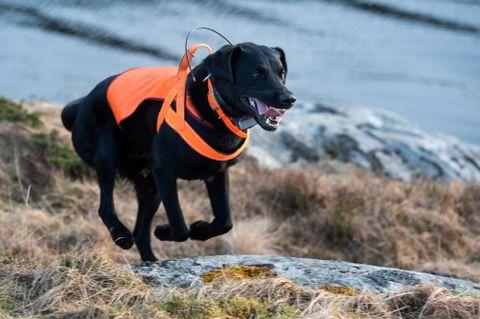 PÅ JAKT: - Søk Peik! Ein hund etter mink er lett å be.