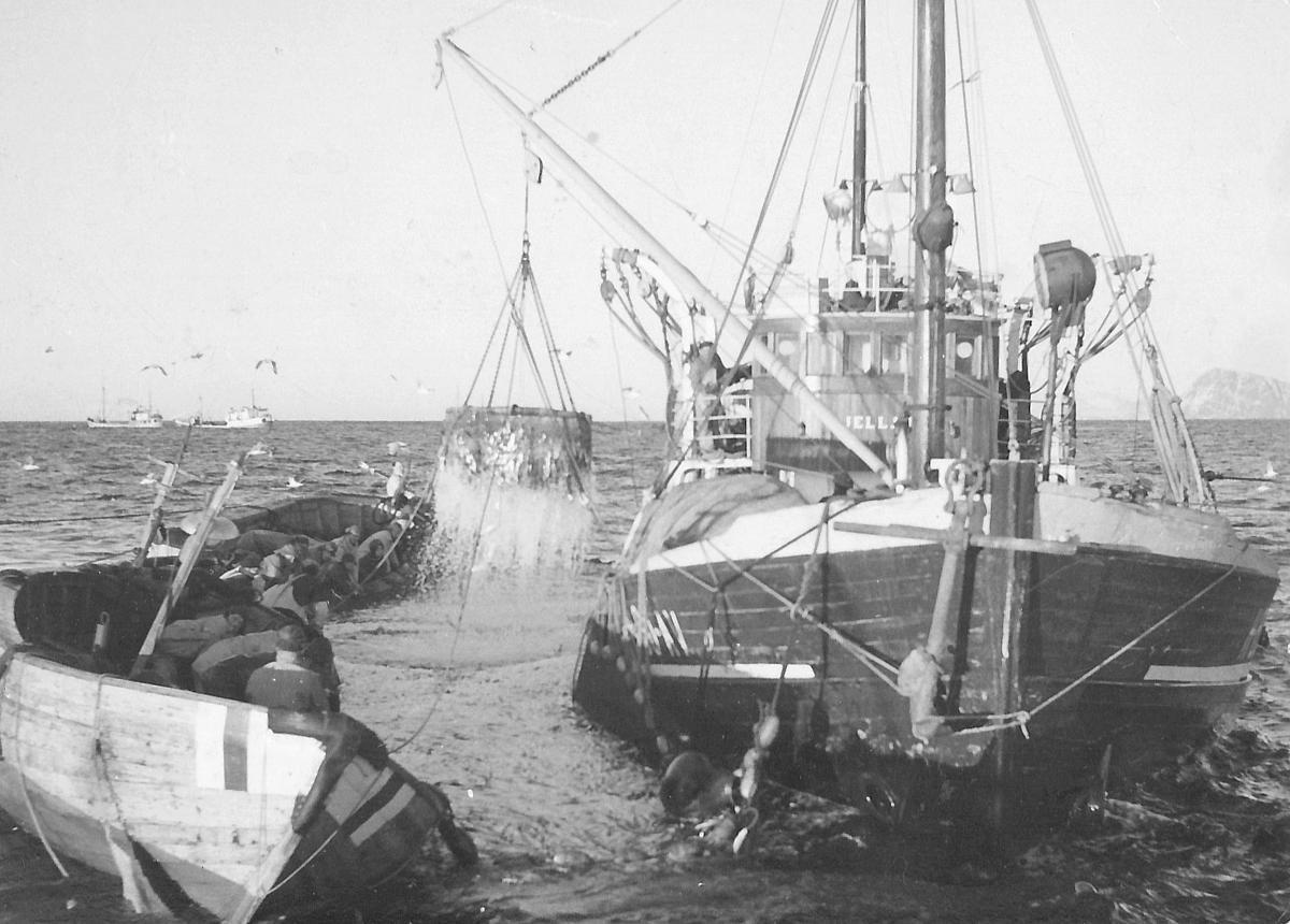SILDEBONANZA: På første halvdel av 50-tallet var silden en av Norges viktigste eksportvarer, og over 20.000 fiskere var med på vintersildefiske hver vinter. Austevoll var en av plassene hvor sildefisket var svært viktig. Her er det M/S «Kjellaug» av Stenevik i Austevoll som håver opp et storkast på vintersildefiske, trolig i 1955. (FOTO: Selbjørn Fiskerisogelag)
