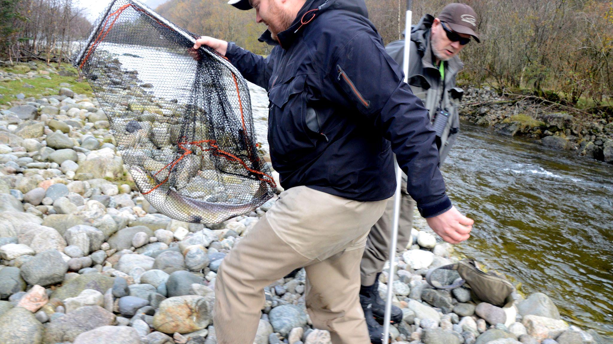 fe9fadbf I høst tar også laksen turen mot Sirdal - Stavanger Aftenblad