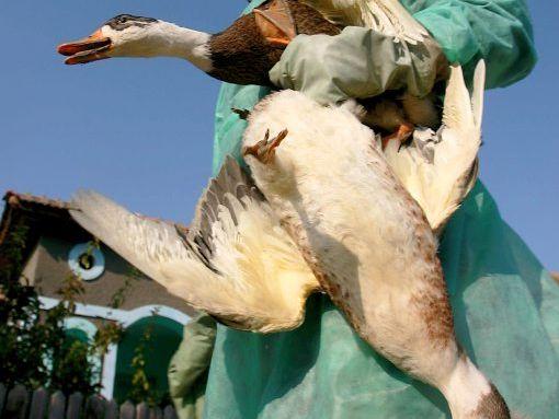 Fugleinfluensa påvist i Hellas