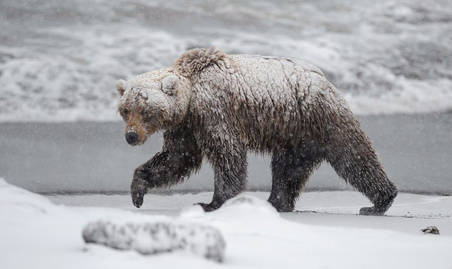 Kan ikke vekke bjørnen når han sover